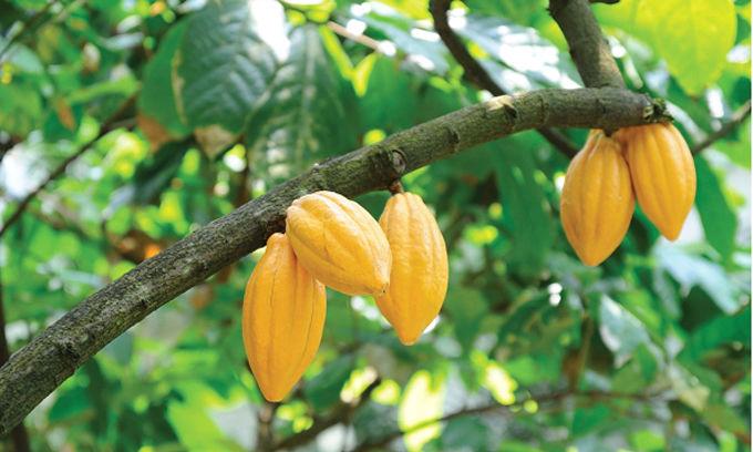 Какао-дерево на подоконнике